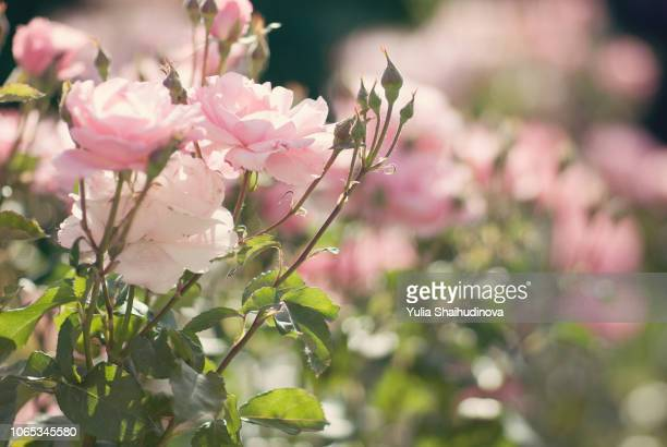 pink roses in full bloom - バラ ストックフォトと画像