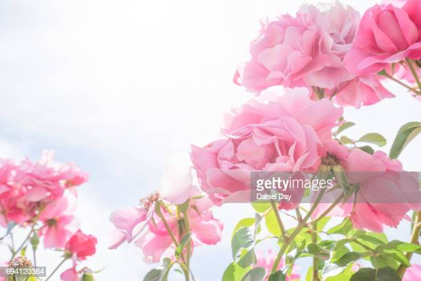 pink roses in nature, strong backlight - rose photos et images de collection