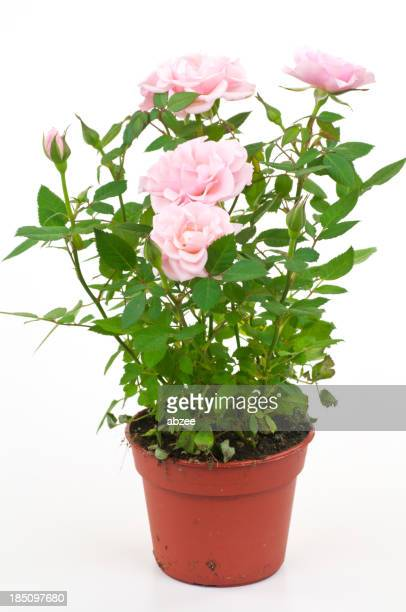 Pink roses in small plastic pot from garden centre