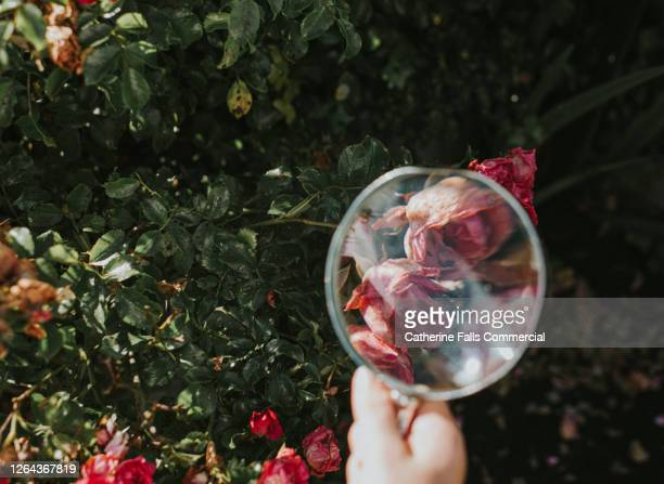 pink roses on a bush through a magnifying glass - pink stock pictures, royalty-free photos & images