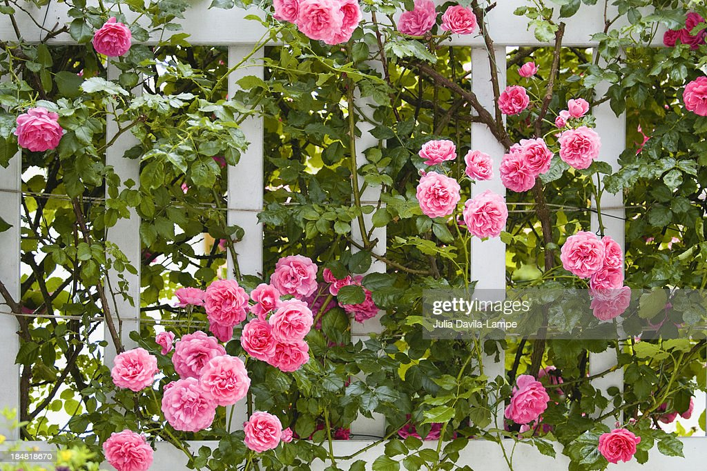 Pink roses on trellis : Stock Photo