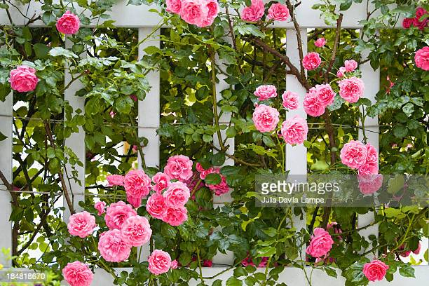 pink roses on trellis - julia rose stock photos and pictures