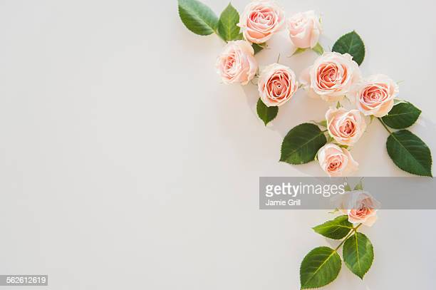 pink roses on white background - rose photos et images de collection