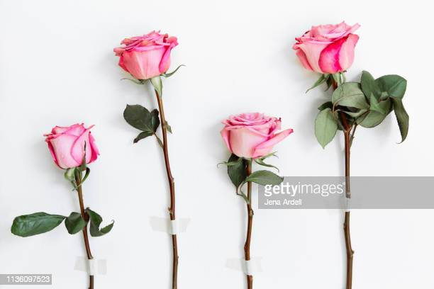 pink roses on white background, self love, reconciliation, forgiveness, getting back together, hope, relationships - jena rose stockfoto's en -beelden