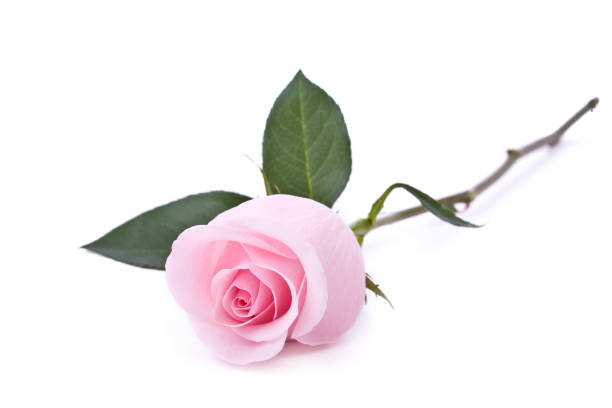 Single Rose Clipart: Free Single Pink Rose Images, Pictures, And Royalty-Free