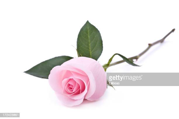 Pink Roses (XL)