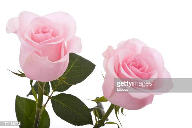 ピンクのバラ(XL