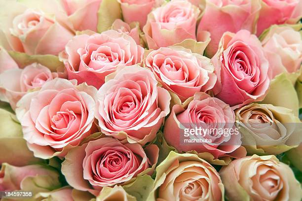 pink roses. - valentines background stock photos and pictures