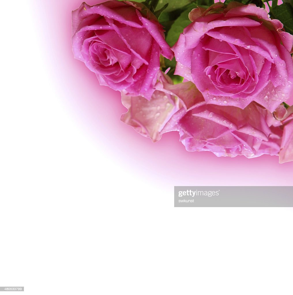 Pink roses. : Stock Photo