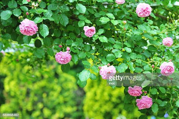 pink roses - saitama prefecture stock pictures, royalty-free photos & images