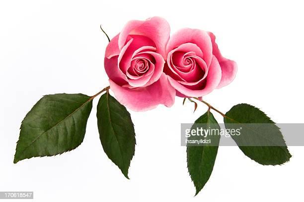 rosa rosen mit blätter - rosa stock-fotos und bilder