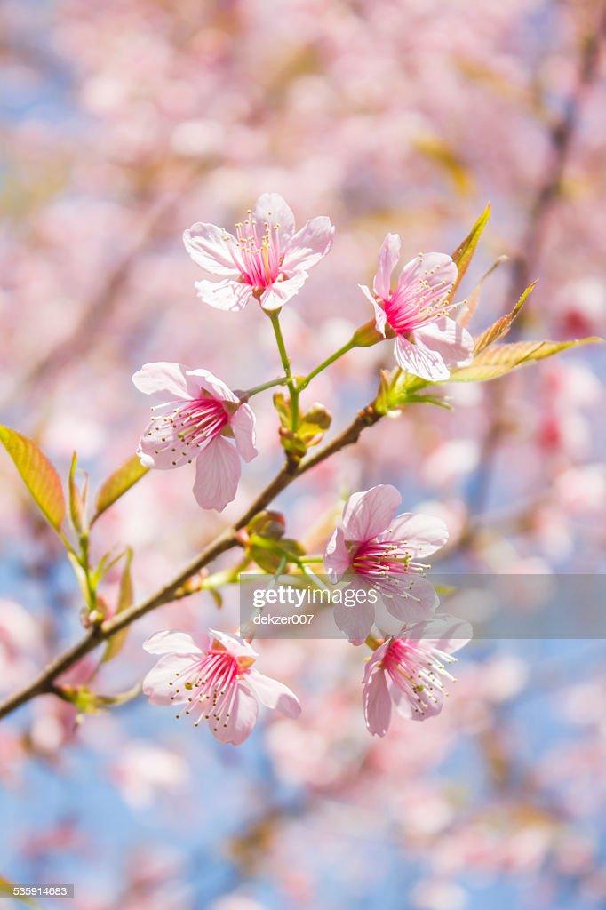 pink sakura blossoms : Stock Photo