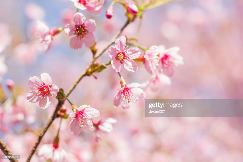 pink sakura blossoms : Stock Photo