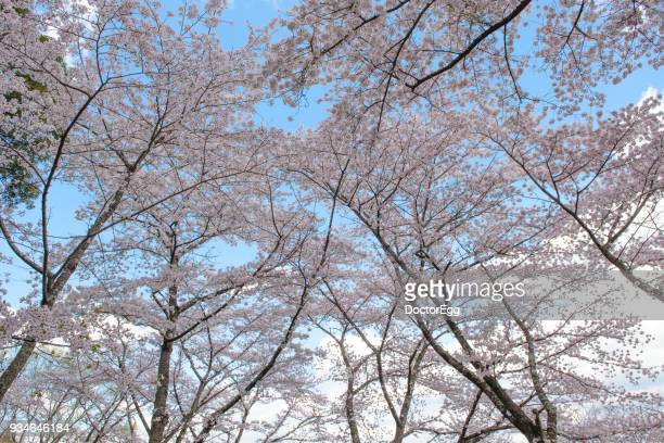 Pink Sakura Branches with Blue Sky Background