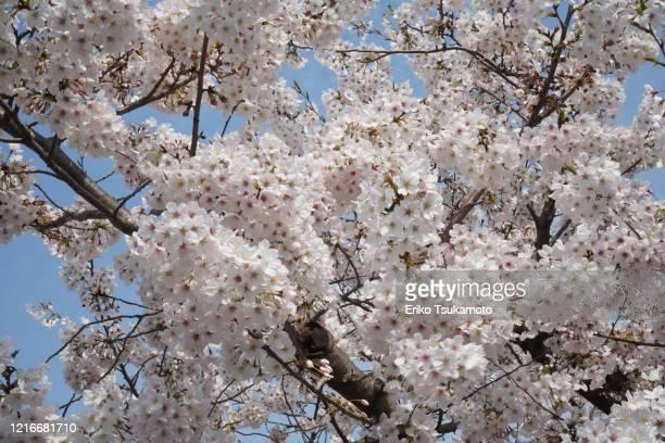 pink sakura cherry blossom with sky backdrop - 桜吹雪 ストックフォトと画像