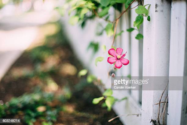 Pink single flower growing on a white fence in a garden