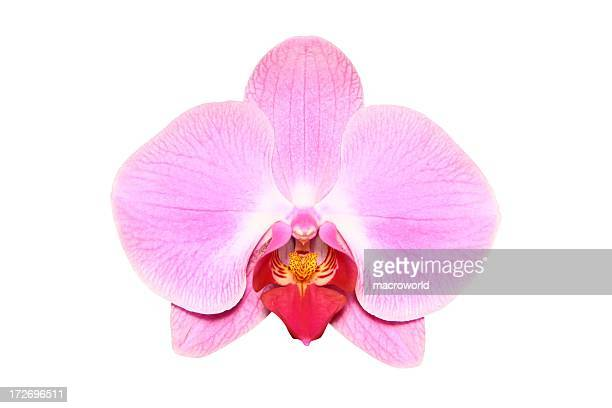 Pink, single orchid on a white background