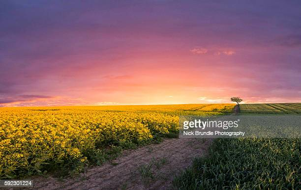 pink sky at night - canola oil stock pictures, royalty-free photos & images