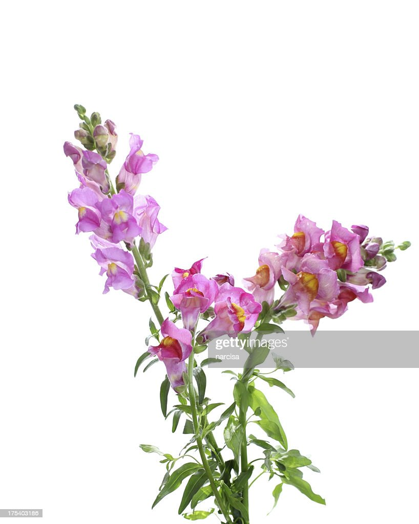 Pink Snapdragon Flowers Isolated On White Stock Photo Getty Images