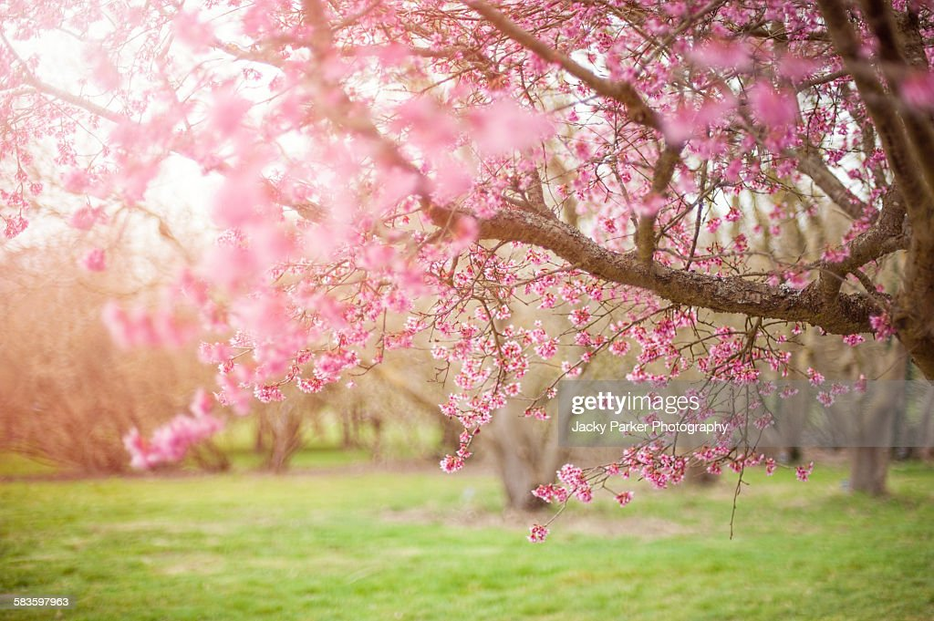 Pink Spring Cherry Blossom : Stock Photo