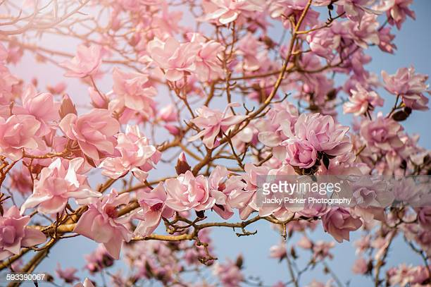 pink spring magnolia flowers - tulip tree stock photos and pictures