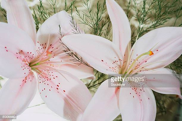 pink stargazer lilies - stargazer lily stock photos and pictures