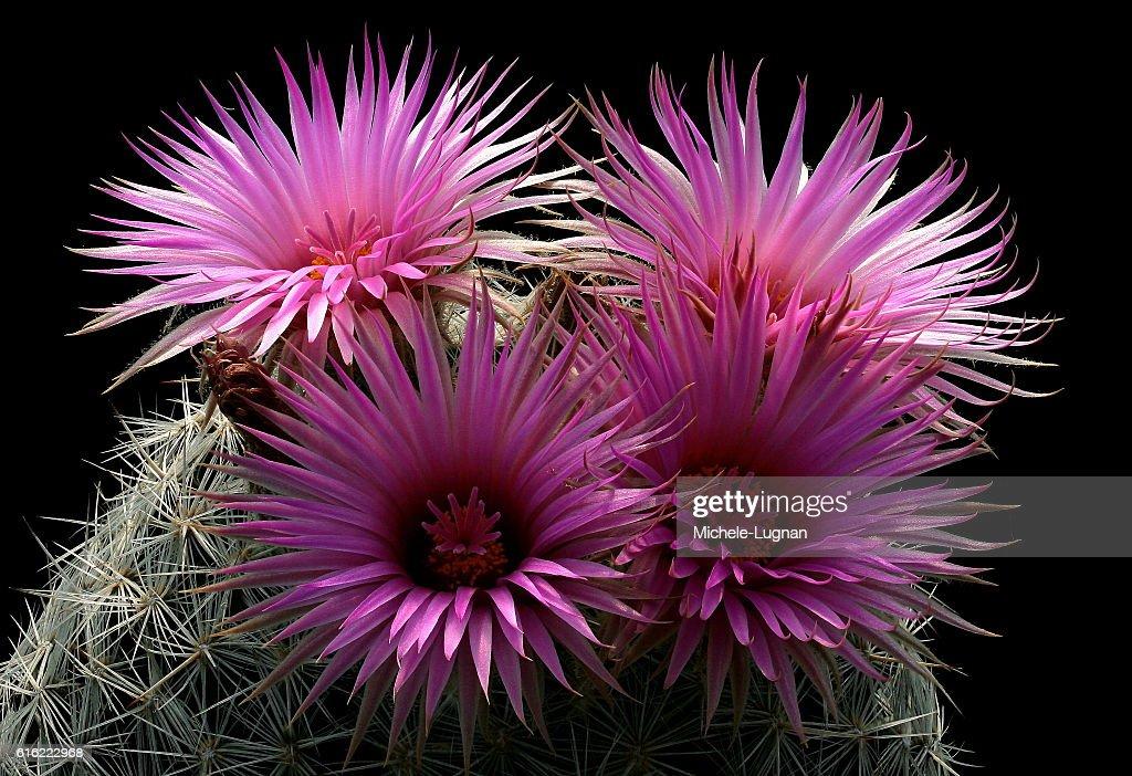 Pink stars  : Stock-Foto