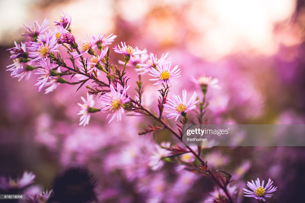 Pink Summer Flowers : Stock Photo