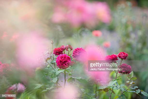 pink summer roses - st. albans stock pictures, royalty-free photos & images