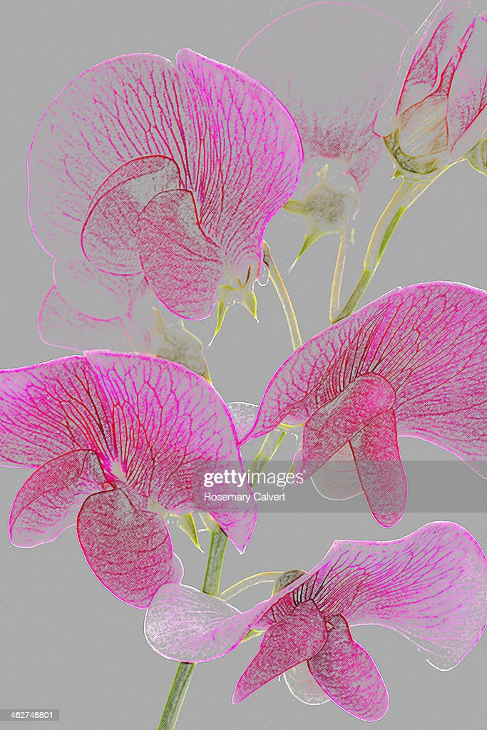 Pink Sweet Pea Flowers As Coloured Pencil Drawing Stock