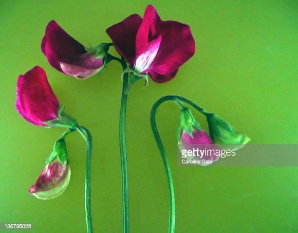 Pink sweet pea flowers