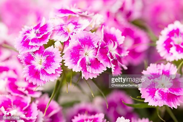 - de-rosa doce william - cravo cravo da china imagens e fotografias de stock