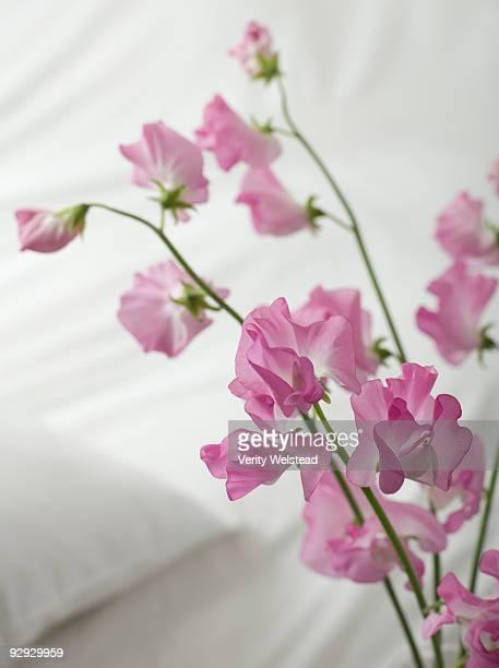 Pink sweetpeas