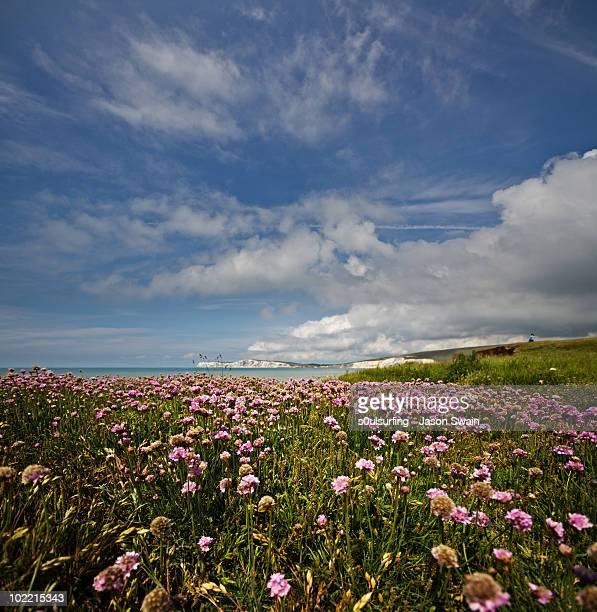 pink thrift & blue sky vertorama. isle of wight - s0ulsurfing foto e immagini stock