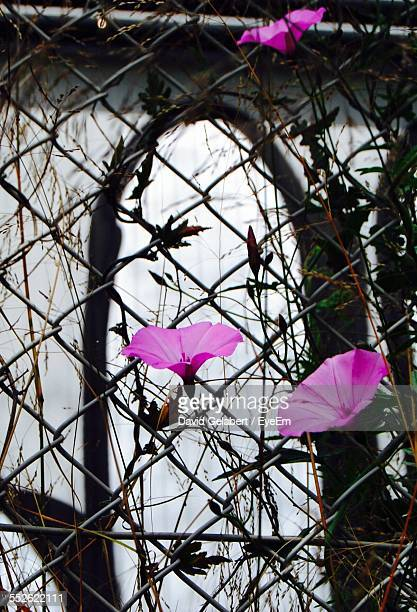 Pink Tiger Lilies Growing Next To Chain-Link Fence