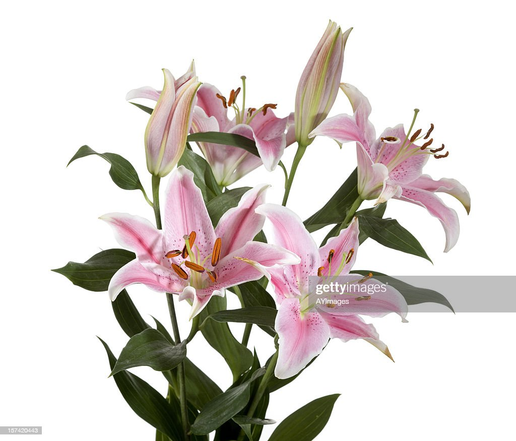 Tiger lily stock photos and pictures getty images pink tiger lilies on white background izmirmasajfo Images