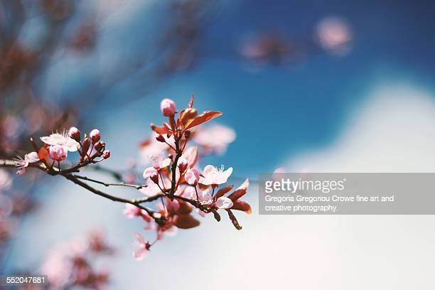 pink tree blossoms - gregoria gregoriou crowe fine art and creative photography. stock photos and pictures