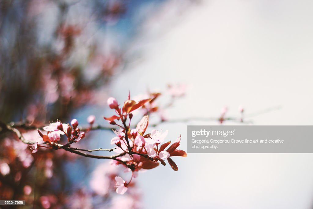 Pink Tree Blossoms : Stock Photo
