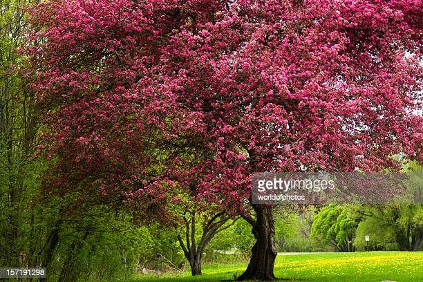 Crab apple tree stock photos and pictures getty images pink tree mightylinksfo