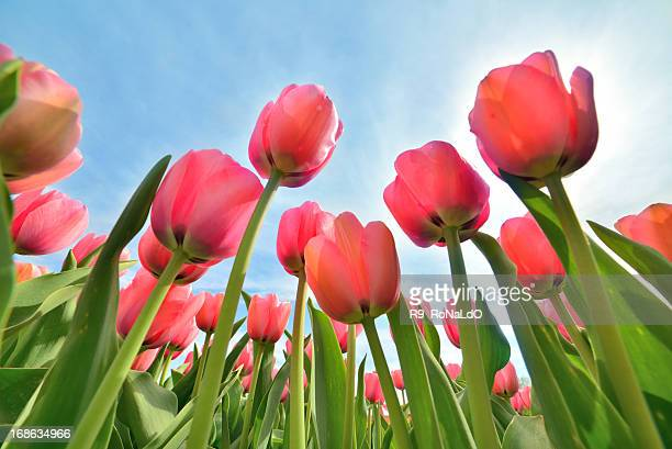 Pink Tulip from low angle view