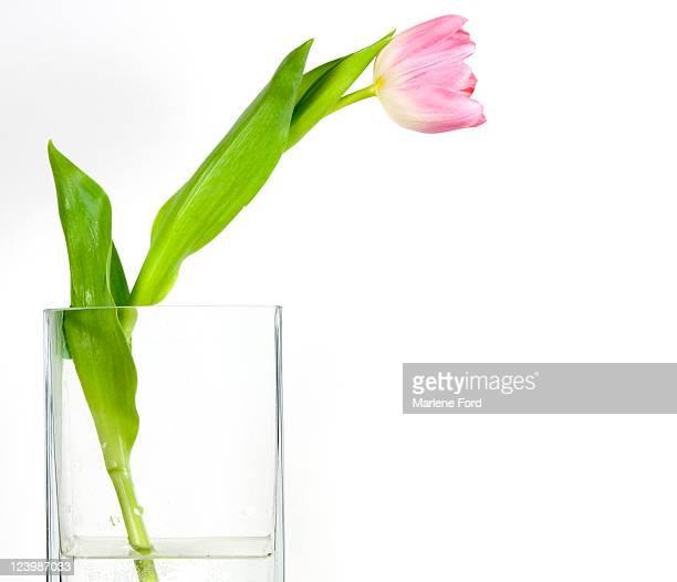 Pink tulip in vase