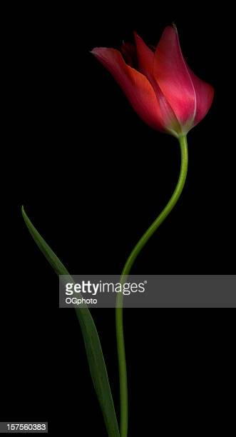 pink tulip - ogphoto stock pictures, royalty-free photos & images