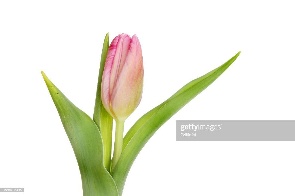 Tulipán rosa : Foto de stock