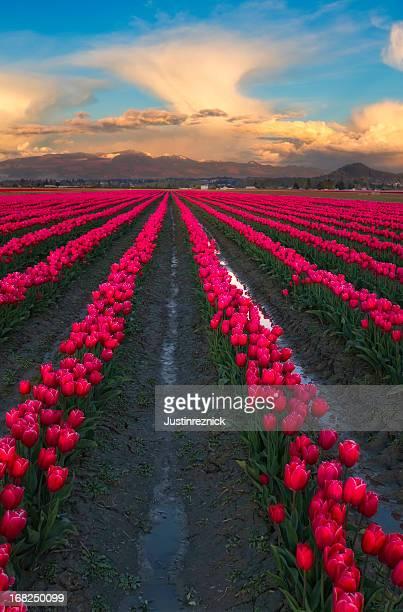 Tulipes roses et de nuages