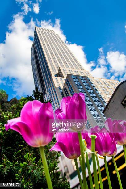 Pink tulips below the Empire State Building