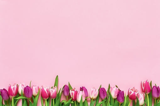 Pink tulips border on pink background. Copy space, top view. Holiday background 1134776458
