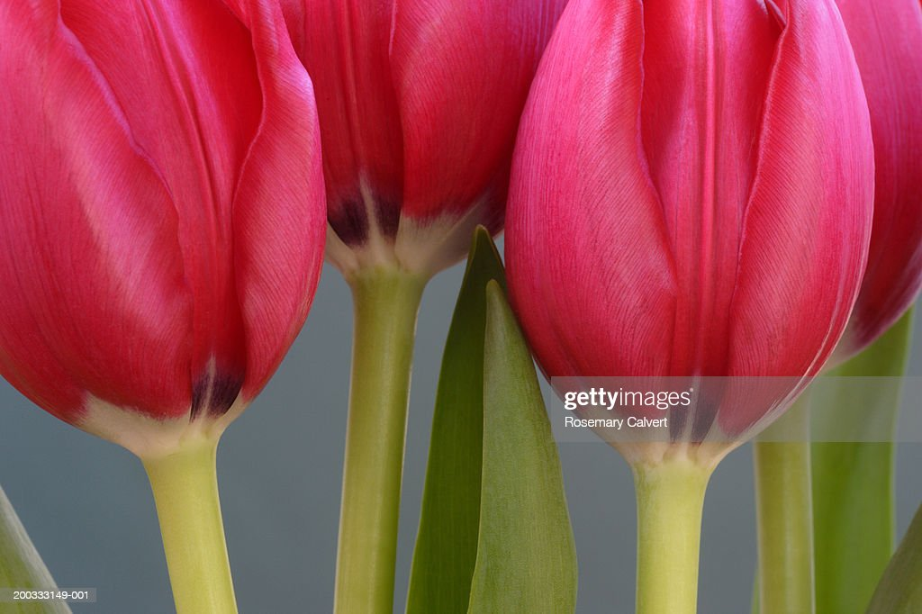 Pink tulips (Tulipa sp.), close-up : Stock Photo