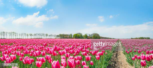 """pink tulips growing in a field in an agricultural landscape during springtime - """"sjoerd van der wal"""" or """"sjo"""" stock pictures, royalty-free photos & images"""
