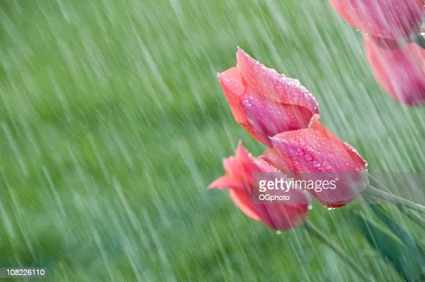 Rosa Tulpen im Frühling Dusche.