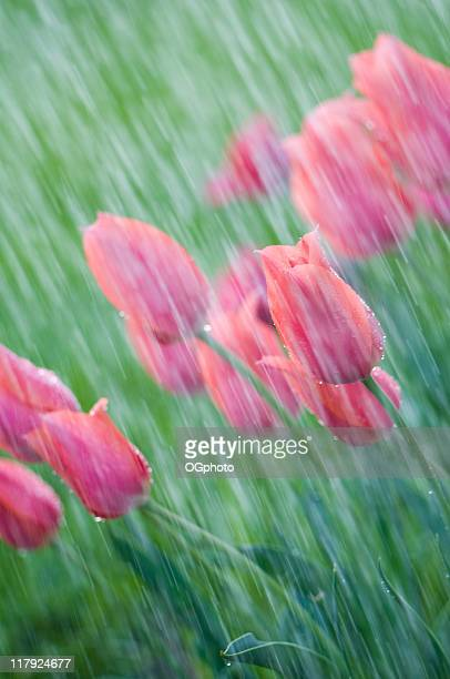 pink tulips in a spring shower. - ogphoto stock pictures, royalty-free photos & images